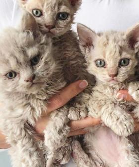 The 'Sheep Cats' Taking Over Instagram Will Steal Your Heart