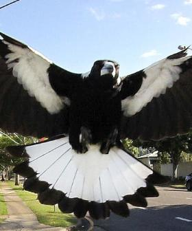 Magpie Swooping Season Is Upon Us! Here's How To Avoid An Attack!