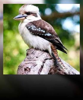 Man 'Forced To Flee Country' Over Kookaburra Death