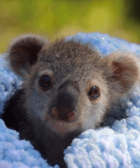 The Baby Koala Taking The World By Storm
