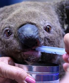 GoFundMe For Koala's Injured In Aussie Bushfires Soars Over $1 Million