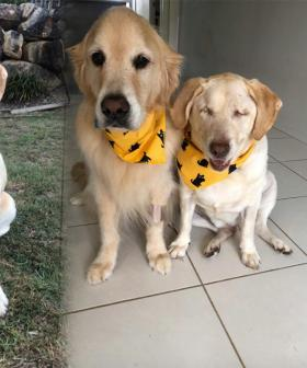 Dumpling The Blind Labrador That Captured Our Hearts Has Found A Home
