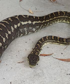 Python Devours Pet Cat Whole