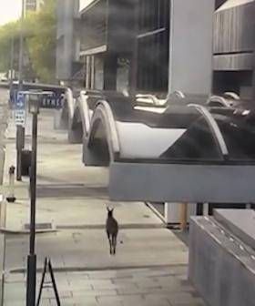 WATCH A Lost Roo Hopping Through This Aussie City On A Quiet Sunday Arvo