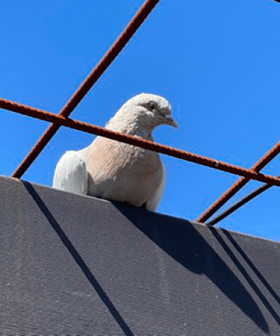 "Australian Government ""Exploring Options"" To Save Joe The Pigeon From Execution"
