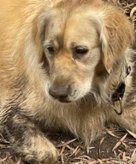 Beloved Golden Retriever Stolen In Melbourne's South East